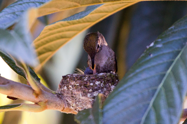 Hummingbird feeding chick -Photo by TImo McIntosh © 2012